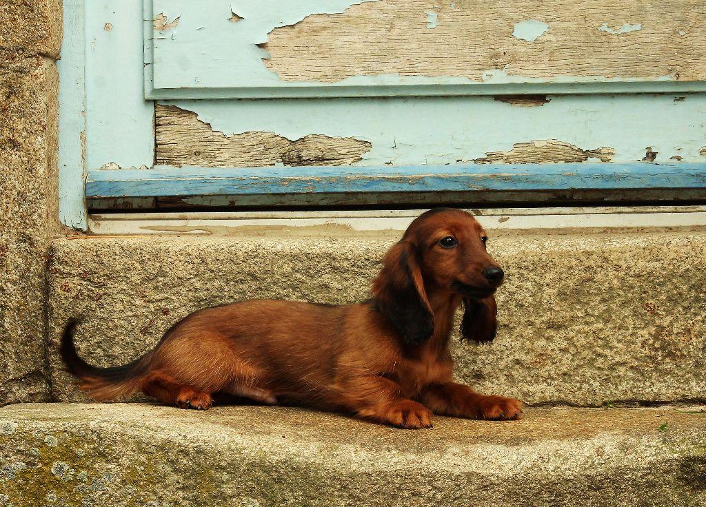 D'harcourt - Chiot disponible  - Teckel poil long