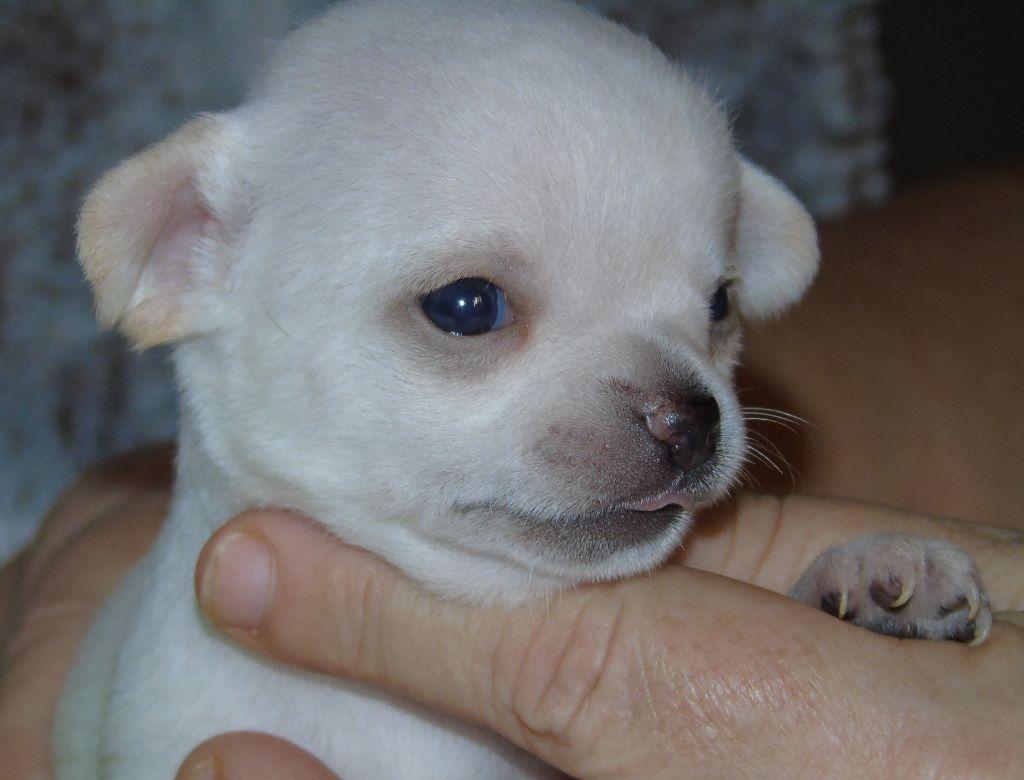 OPALINE - Chihuahua