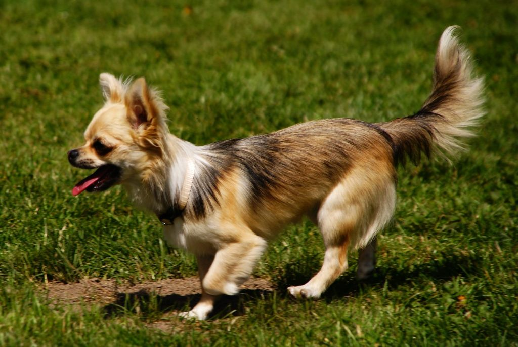 Nessa Du Manoir Du Vauclair Chihuahua