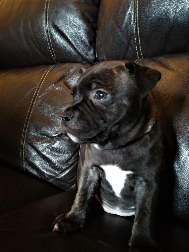 Du Domaine De Lilydogs - Chiot disponible  - Staffordshire Bull Terrier