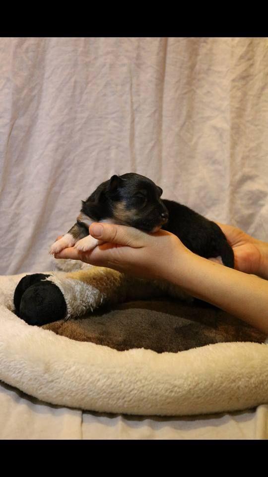 D'Ohana Dream - Chiot disponible  - Shetland Sheepdog