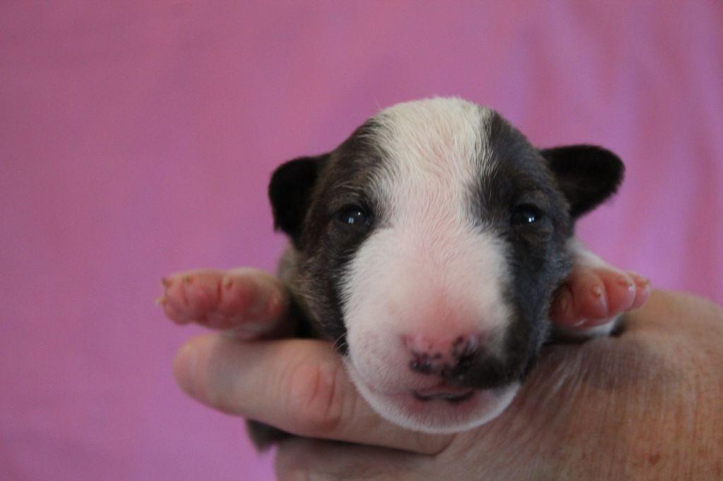 De L'eden Des Bulls D'edmaly - Chiot disponible  - Bull Terrier