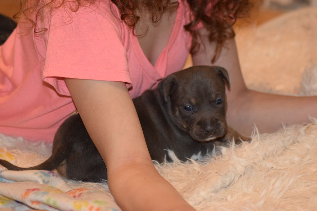 Picasso - American Staffordshire Terrier