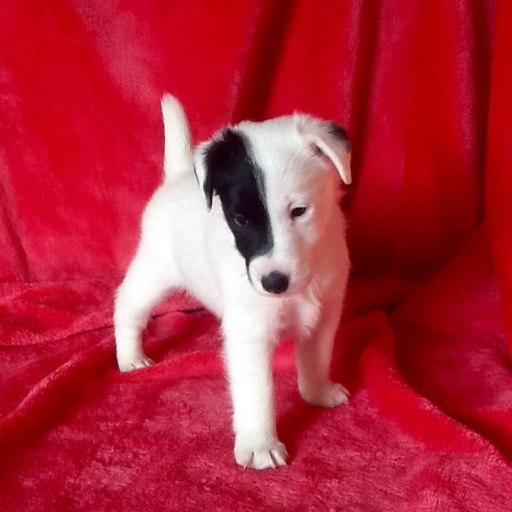 Del Monte Magdala - Chiot disponible  - Fox Terrier Poil lisse