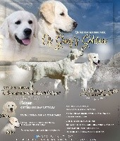 Golden Retriever - Elevage of Greg's Golden - Of Greg's Golden