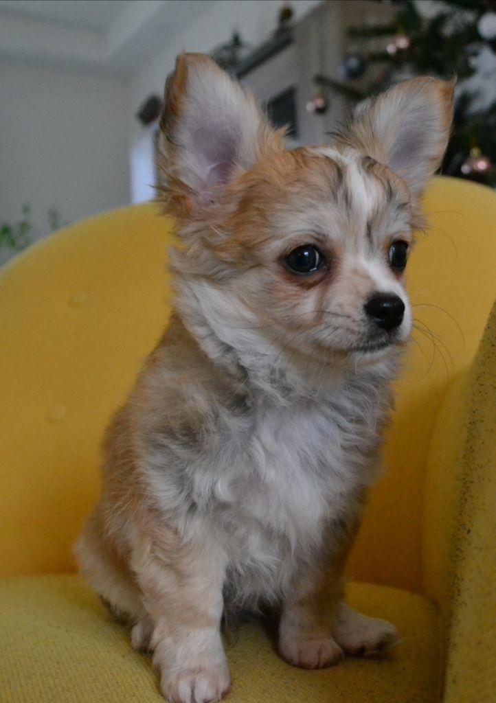 De L'Harmonik' Anlyba - Chiot disponible  - Chihuahua