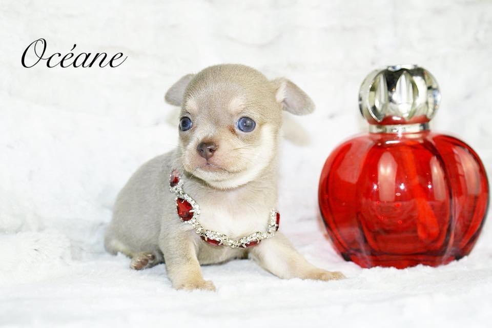 des Petites Merveilles d'Aurore  - Chihuahua - Portée née le 06/09/2018