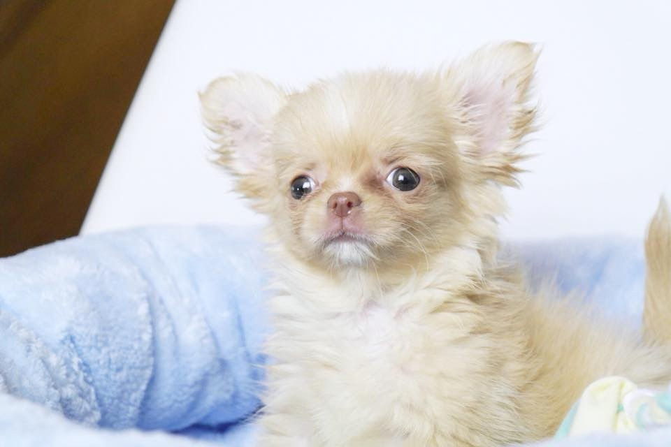 Chiot Chiot Chihuahua A Vendre Elevage De Chihuahua A Toulouse