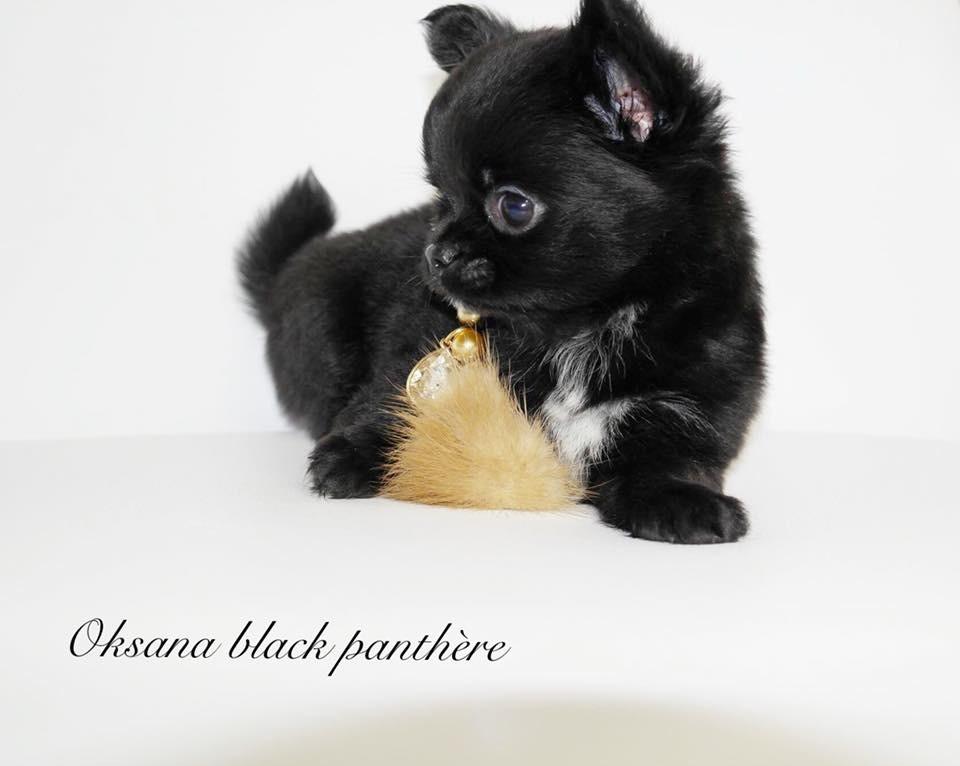 des Petites Merveilles d'Aurore  - Chihuahua - Portée née le 10/08/2018