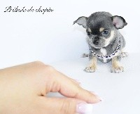 des Petites Merveilles d'Aurore  - Chihuahua - Portée née le 19/02/2019