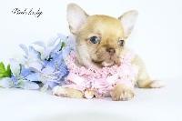 des Petites Merveilles d'Aurore  - Chihuahua - Portée née le 14/03/2019