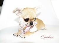 des Petites Merveilles d'Aurore  - Chihuahua - Portée née le 12/03/2018