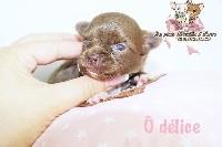 des Petites Merveilles d'Aurore  - Chihuahua - Portée née le 30/07/2018