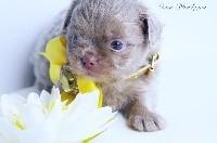des Petites Merveilles d'Aurore  - Chihuahua - Portée née le 10/05/2018