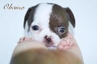 des Petites Merveilles d'Aurore  - Chihuahua - Portée née le 01/05/2018