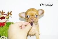 des Petites Merveilles d'Aurore  - Chihuahua - Portée née le 30/10/2018