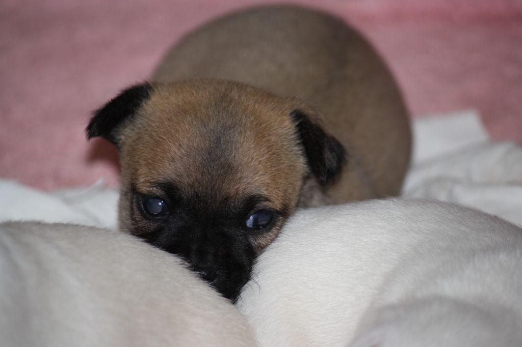 Des Hortz Aux Barronnies - Chiot disponible  - Chihuahua