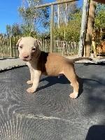 American Staffordshire Terrier - Du Mas D'Elna