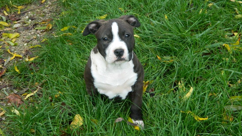de la Taverne d'Ox - Chiot disponible  - American Staffordshire Terrier
