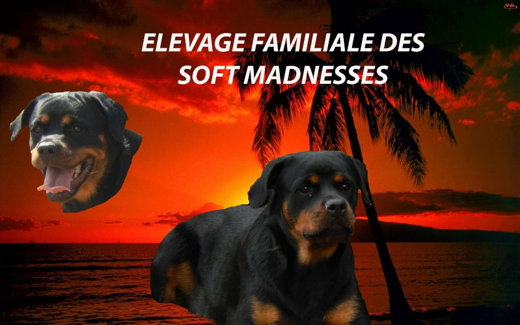 accueil elevage des soft madnesses eleveur de chiens rottweiler. Black Bedroom Furniture Sets. Home Design Ideas