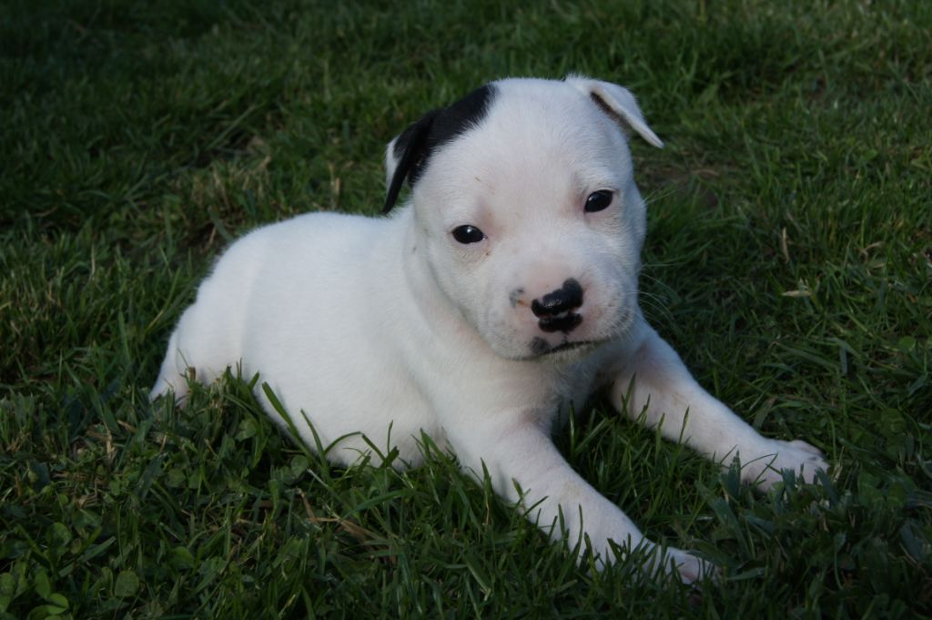 Pearl - Staffordshire Bull Terrier