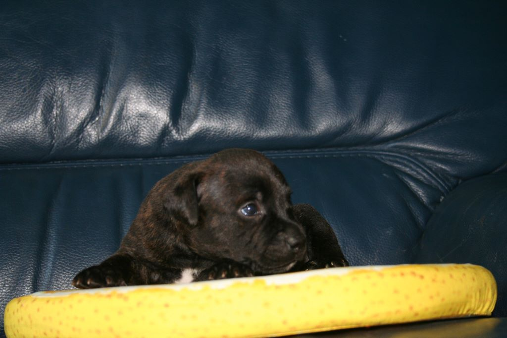 Blackstafford - Chiot disponible  - Staffordshire Bull Terrier