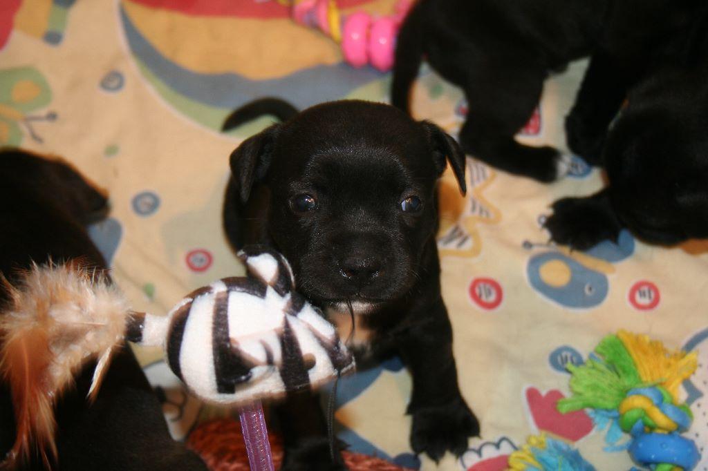 Blackstafford - Chiot disponible  - Staffordshire Bull Terrier