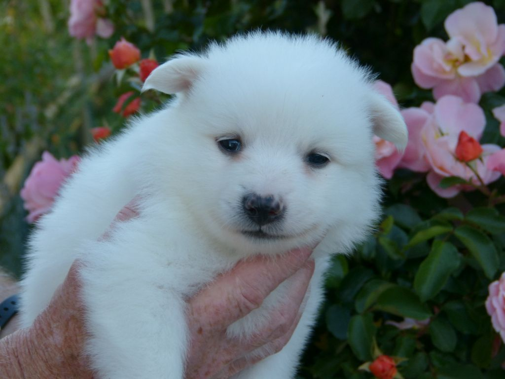 Old Rock Valley - Chiot disponible  - Spitz allemand
