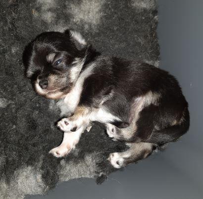 du Domaine des Petits Samouraïs - Chiot disponible  - Chihuahua