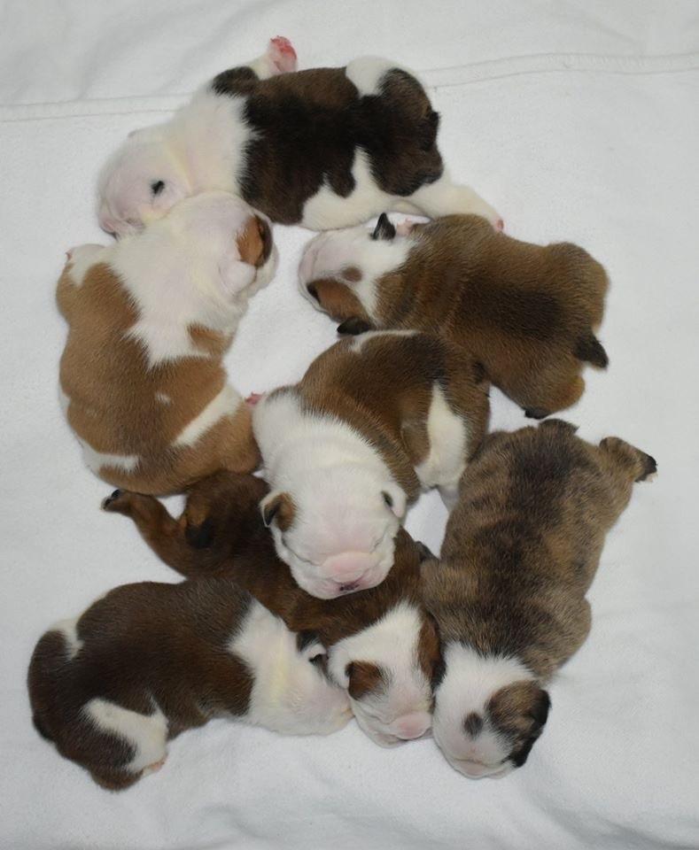 chiot Bulldog Anglais de Théop's