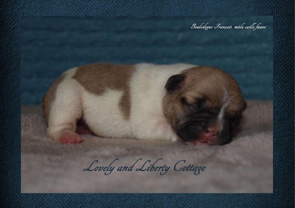 Lovely And Liberty Cottage - Chiot disponible  - Bouledogue français