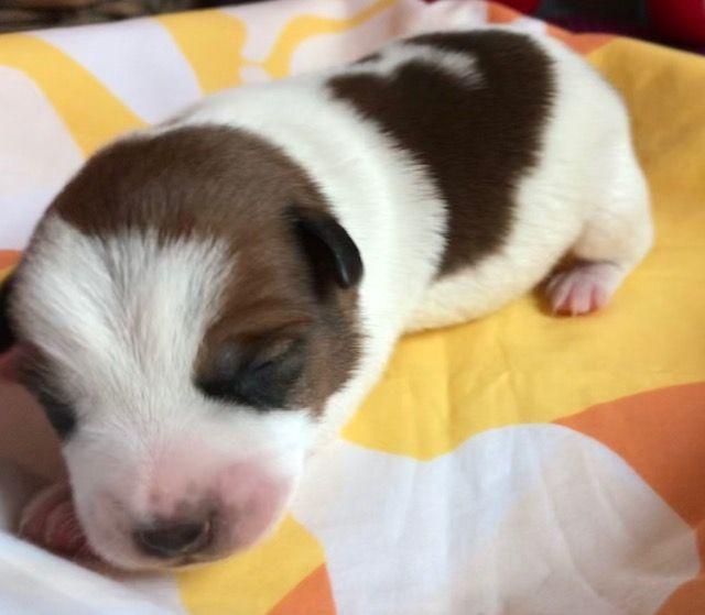 de L'Asie Zanie du Marais - Chiot disponible  - Jack Russell Terrier