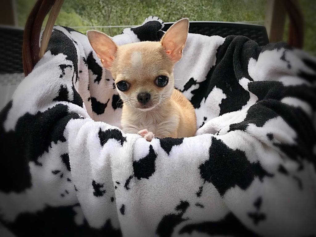 des Joyaux de Pepitaa - Chiot disponible  - Chihuahua