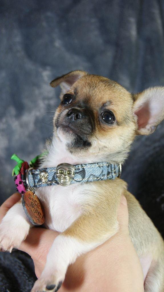 Du Grimoire Des Nains - Chiot disponible  - Chihuahua