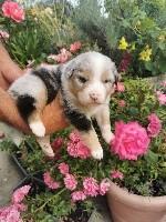 Berger Australien - Du Domaine Du Jardin Des Roses