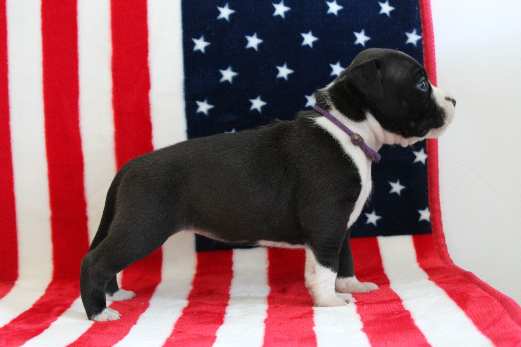 Femelle collier violet - American Staffordshire Terrier