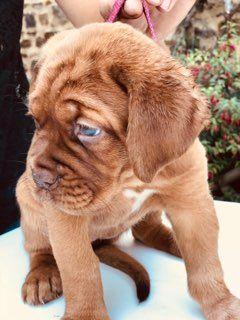 Des Legendes De Newver - Chiot disponible  - Dogue de Bordeaux