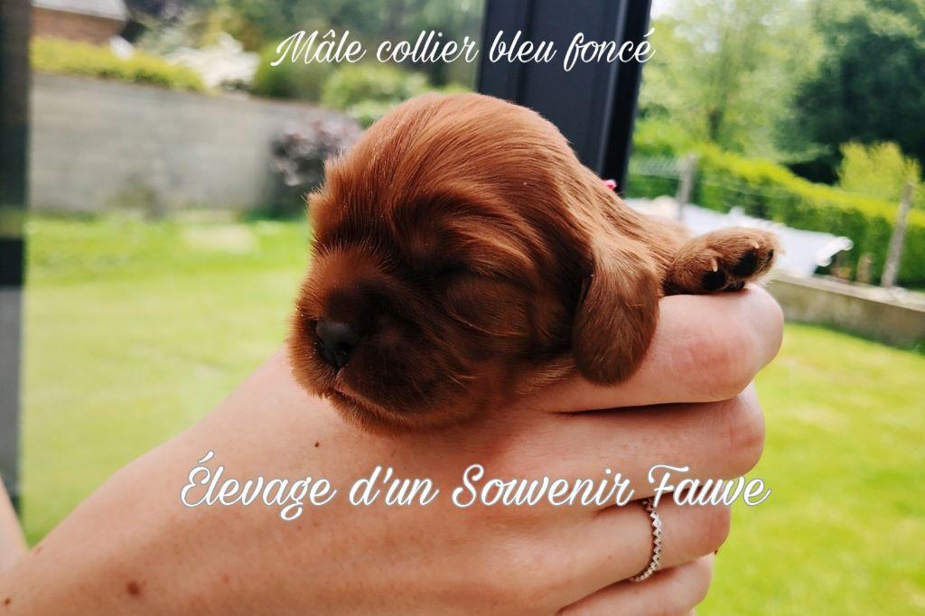 D'un Souvenir Fauve - Cavalier King Charles Spaniel - Portée née le 18/05/2019