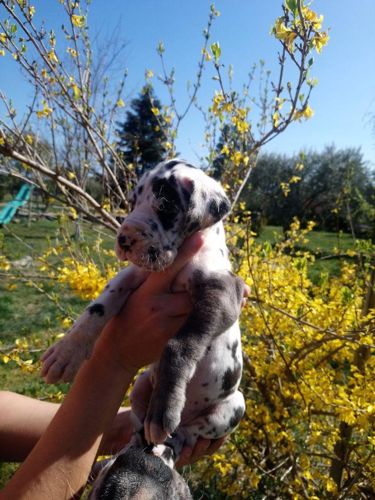 Du Domaine D'Orthos - Chiot disponible  - Dogue allemand