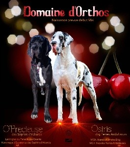 Dogue allemand - Du Domaine D'Orthos