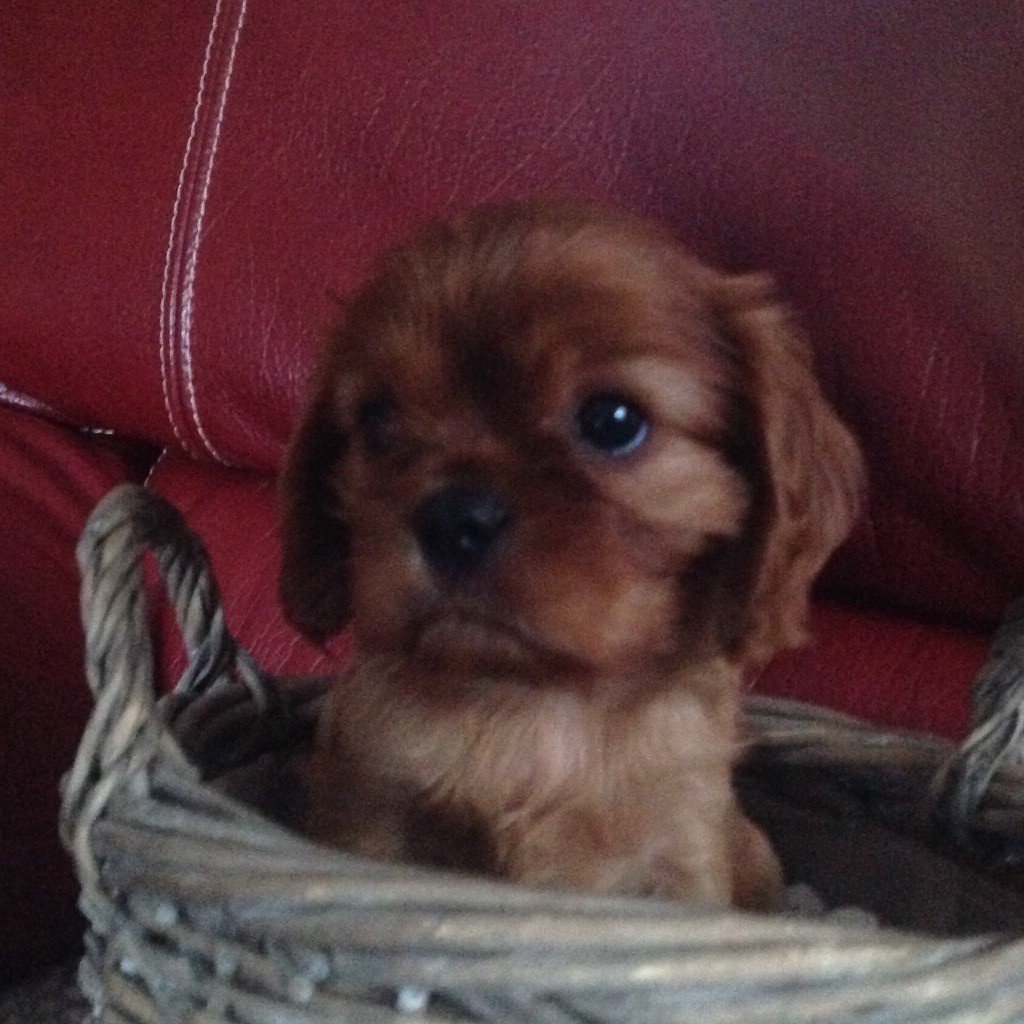 Of Amadeus Gardens - Chiot disponible  - Cavalier King Charles Spaniel