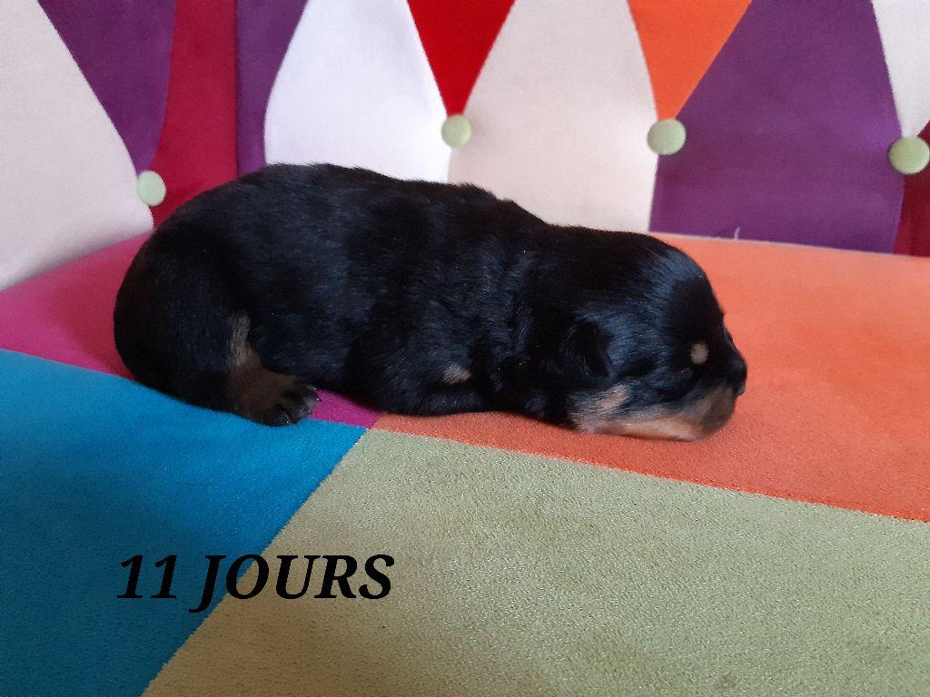 Du Temple du Chaos - Chiot disponible  - Rottweiler