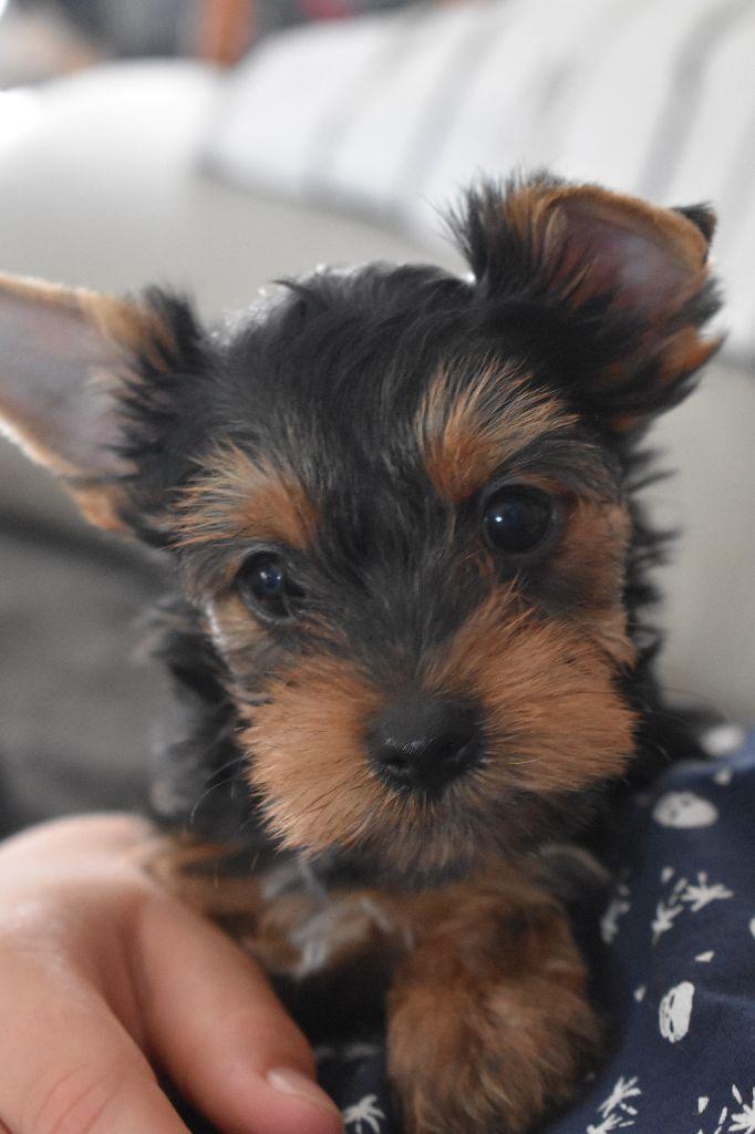 OBELIX - Yorkshire Terrier