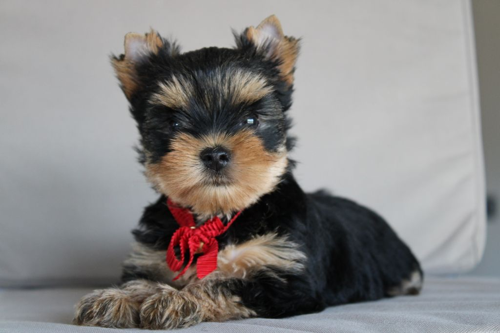 CHIOT - Yorkshire Terrier