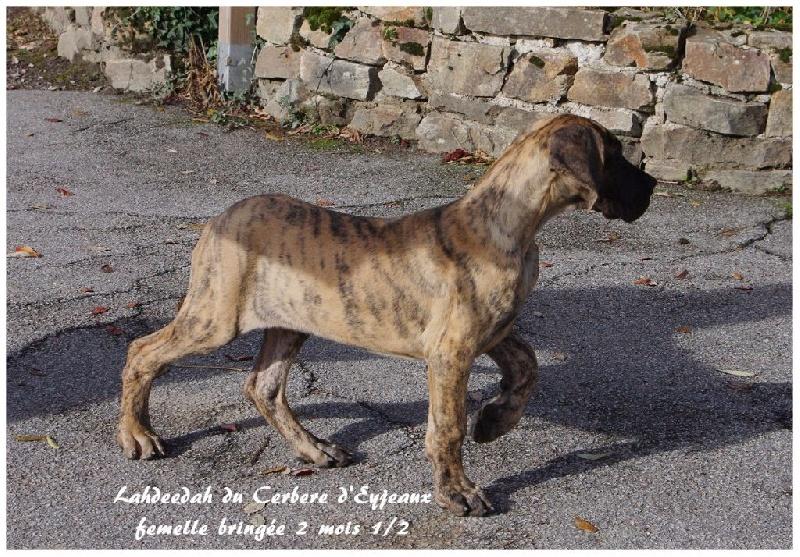 du Cerbere d'Eyjeaux - Chiot disponible  - Dogue allemand