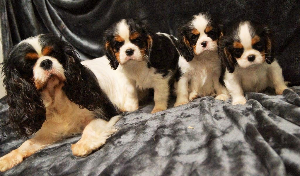 accueil elevage des cavaliers de cecvan eleveur de chiens cavalier king charles spaniel. Black Bedroom Furniture Sets. Home Design Ideas