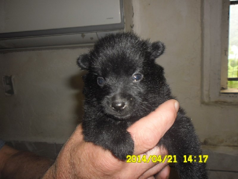 Du void de la bure - Chiot disponible  - Schipperke