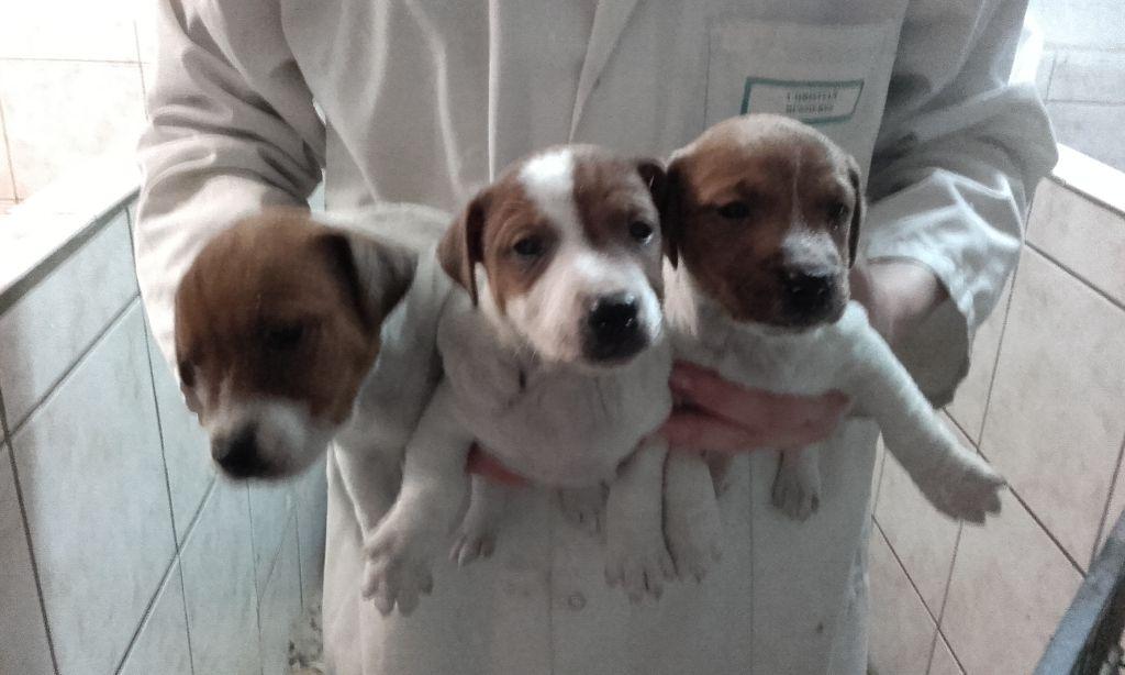 Du void de la bure - Chiot disponible  - Jack Russell Terrier