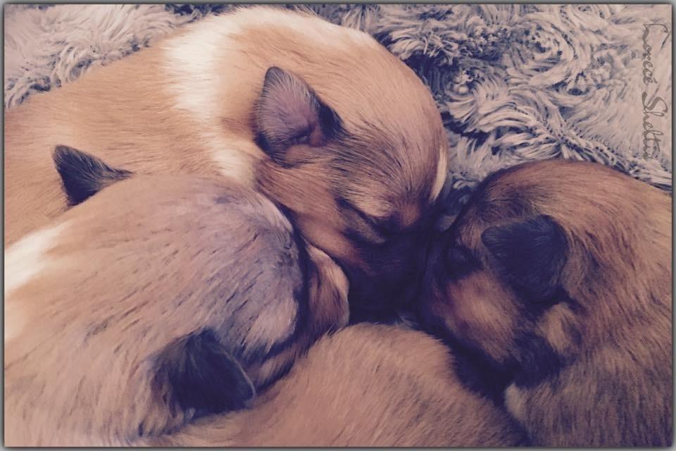 du Lorecé - Chiot disponible  - Shetland Sheepdog