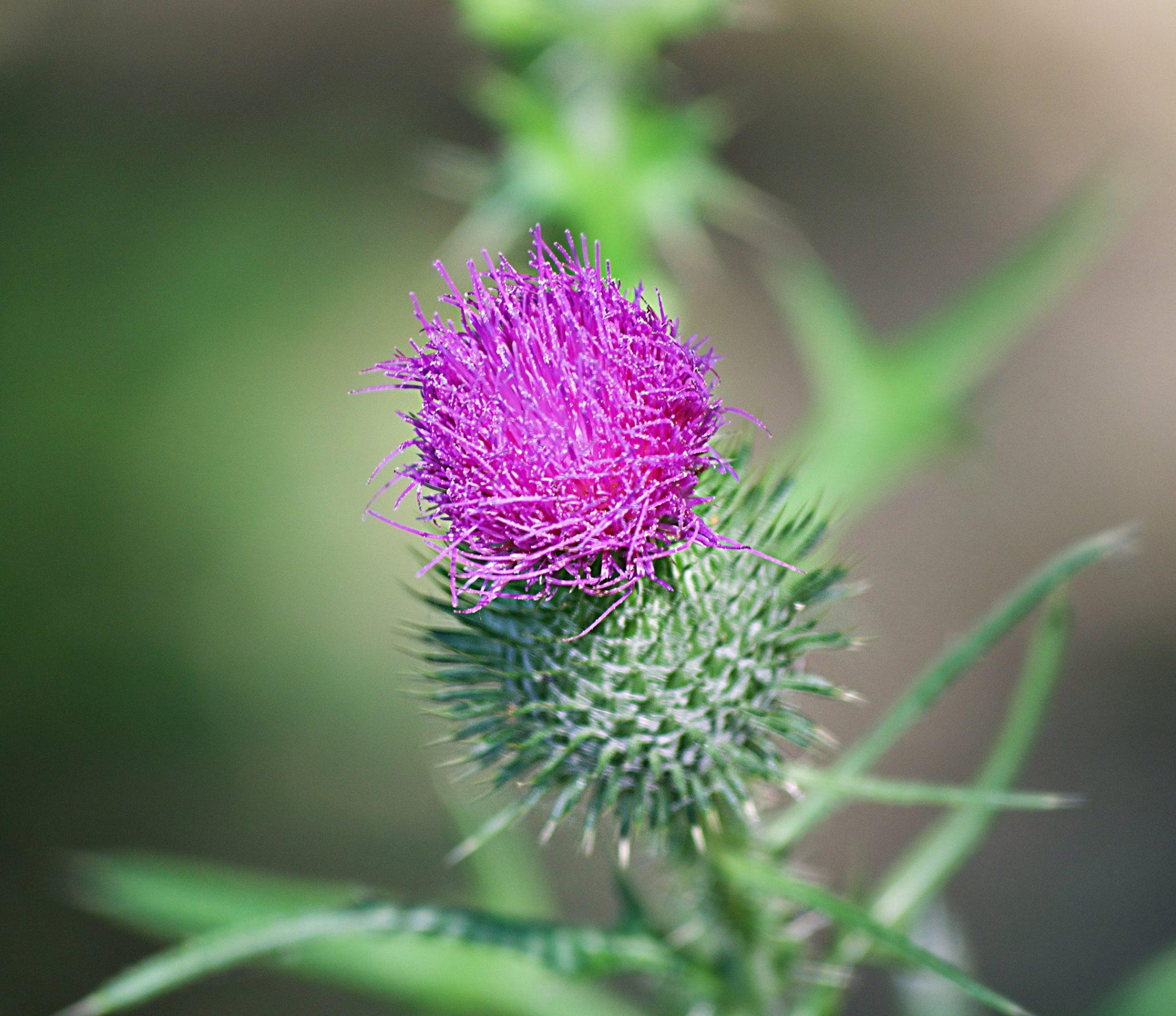 Of The Purple Fallow
